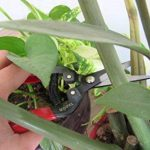 TABOR TOOLS K-7 Sécateur de précision, ciseaux de jardin, ciseaux de récolte pour fruits, fleurs coupées, herbes, légumes hydroponiques et raisins. de la marque TABOR TOOLS image 4 produit