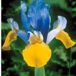 Willemse France Collection 40 Iris de Hollande de la marque Willemse France image 1 produit